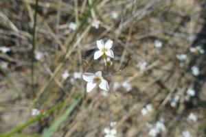 Arabidopsis lyrata, sand cress