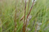 Little bluestem, Schizachyrium scoparium