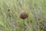 Bee balm, Monarda fistulosa
