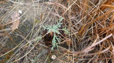 rosette of Artemisia biennis; it will bolt and form an inflorescence and set seed and die at the end of the season