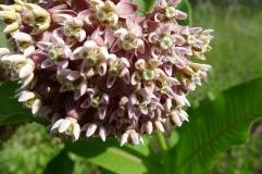 Asclepias syriaca, common milkweed