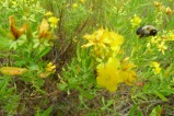 Kalm's St Johns wort with all the bees!