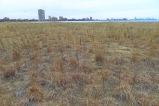 flattened switchgrass amongst the wormwood and little bluestem