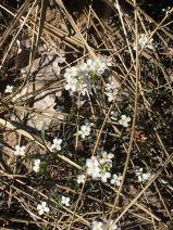Arabidopsis lyrata - sand cress