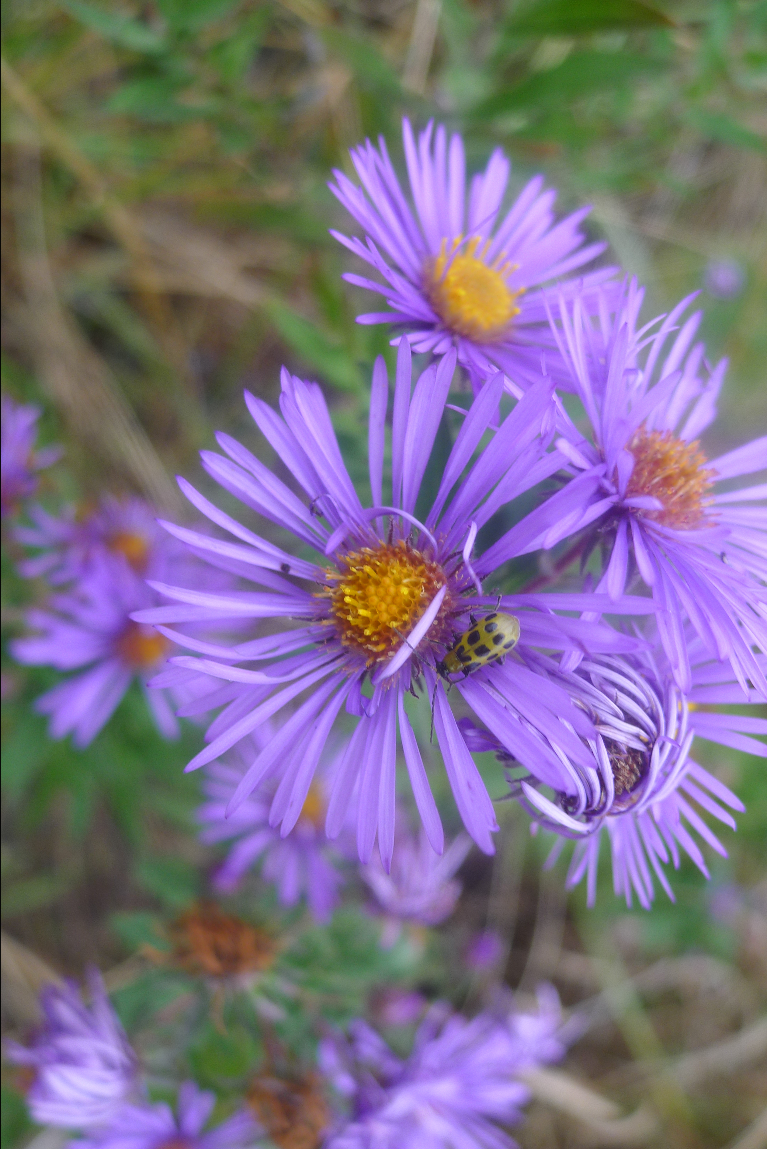 new england aster with a cucumber beetle
